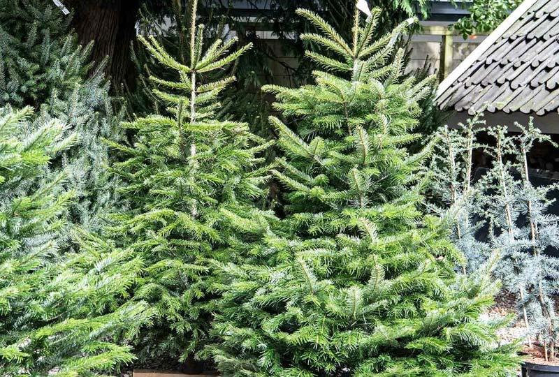 Blog Kerstboom soorten
