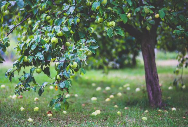 Fruitbomen snoeien en verzorgen