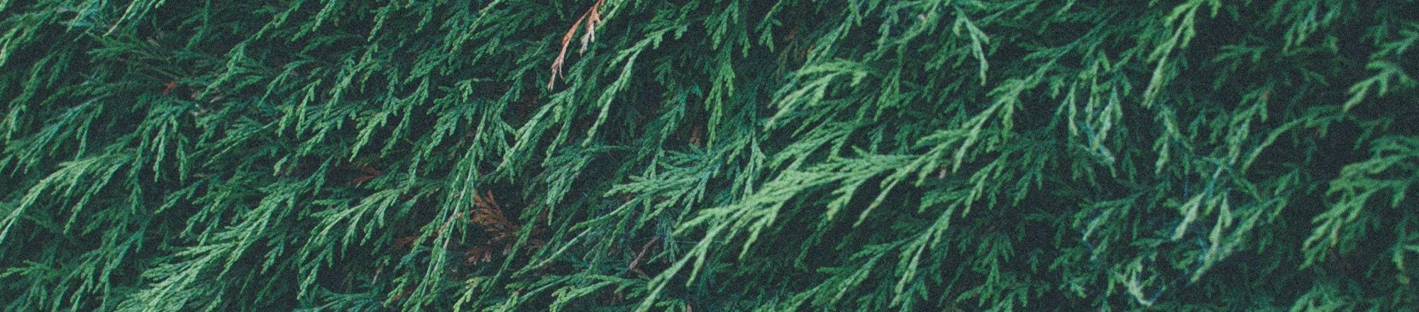 Coniferen snoeien en verzorgen