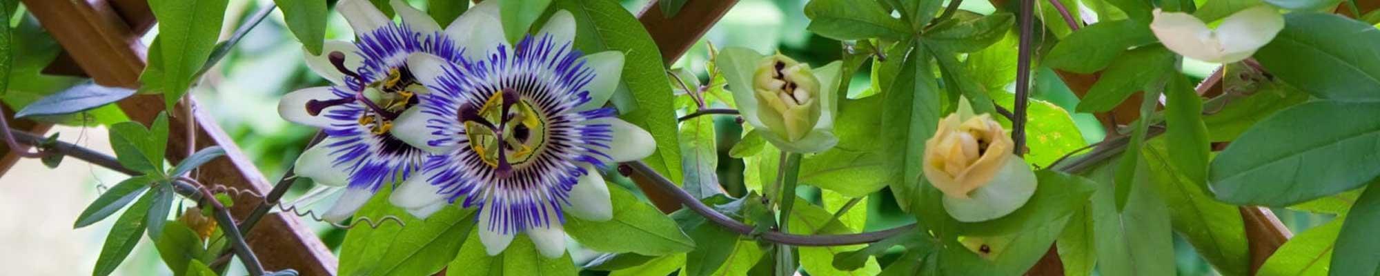 De mooiste klimplanten