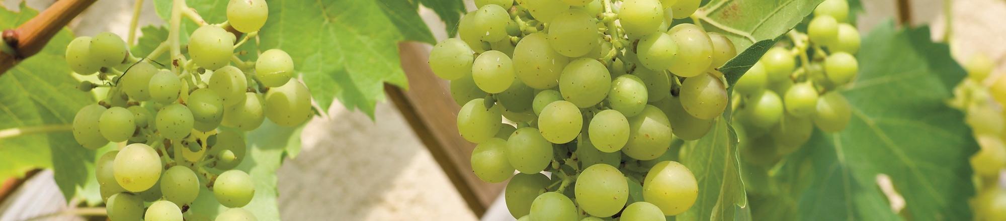 Druiven snoeien en verzorgen