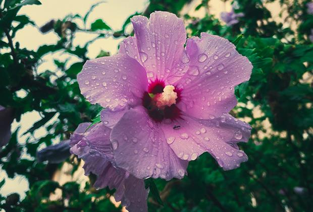 Hibiscus snoeien en verzorgen