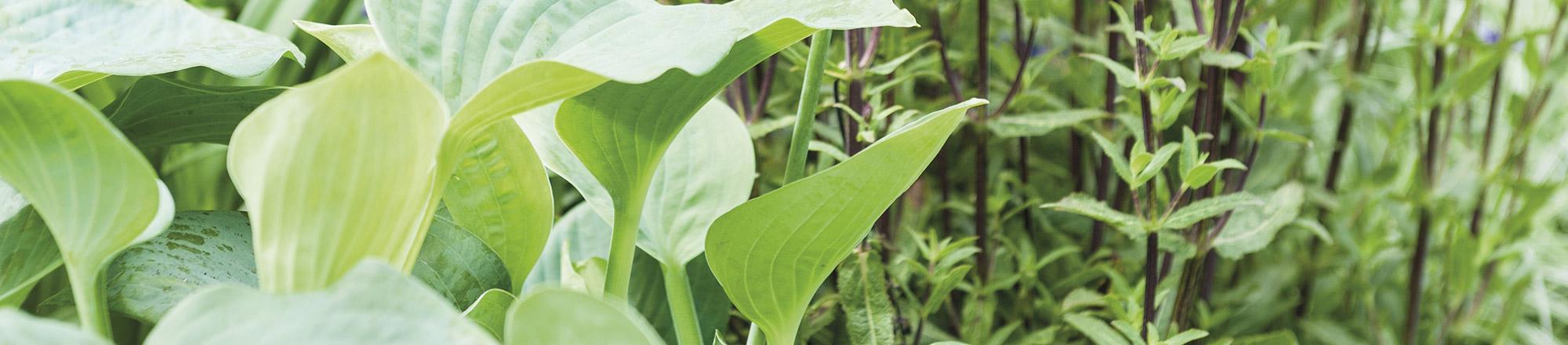 Een tuin border aanleggen met schaduwplanten