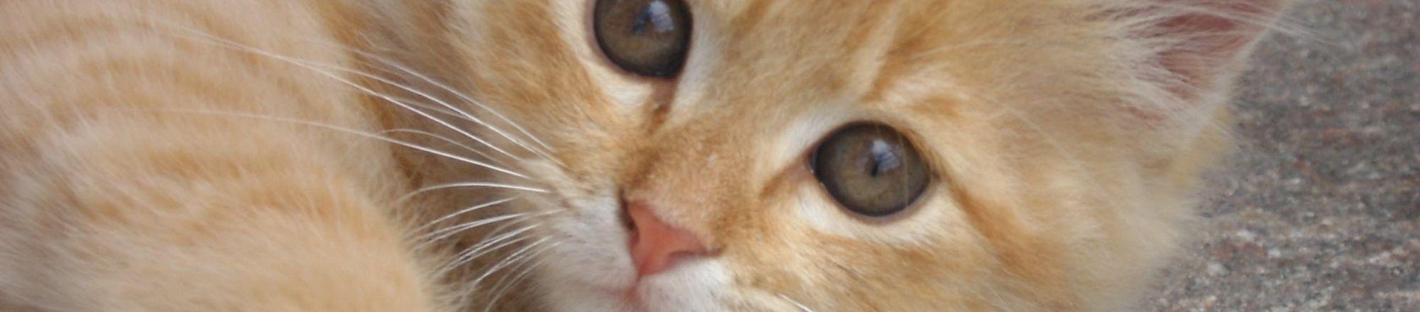 De 10 belangrijkste tips bij het aanschaffen van een kat