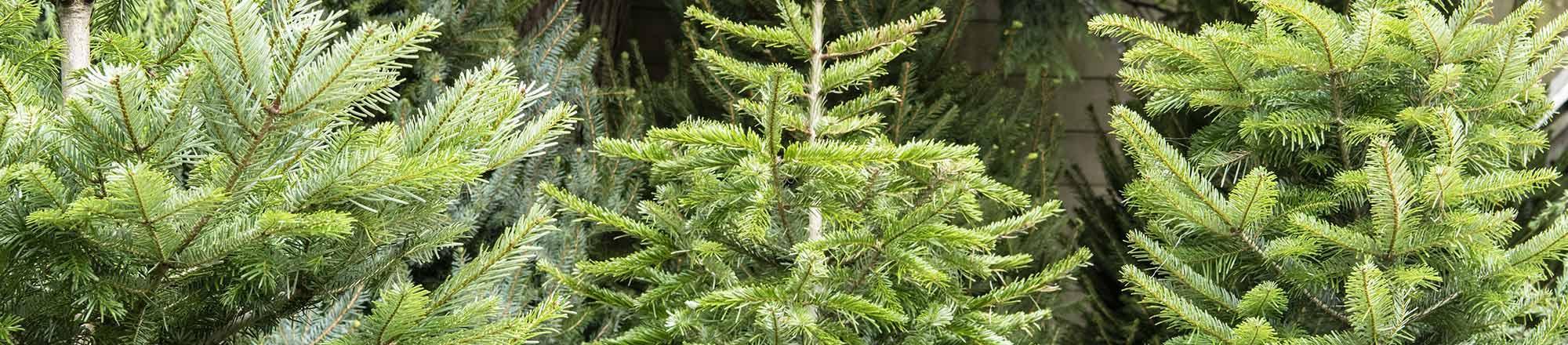 Kerstboom soorten: welke dennenboom past bij jou?