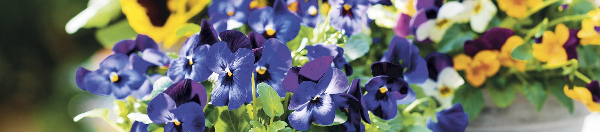 Alle soorten viooltjes op een rij