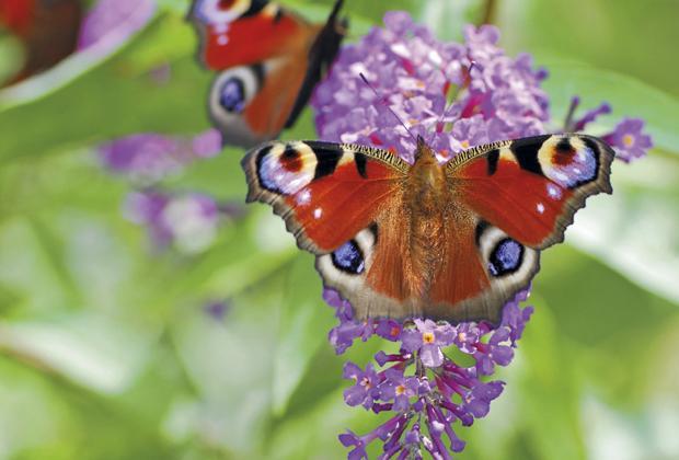 Vlinderstruik snoeien en verzorgen