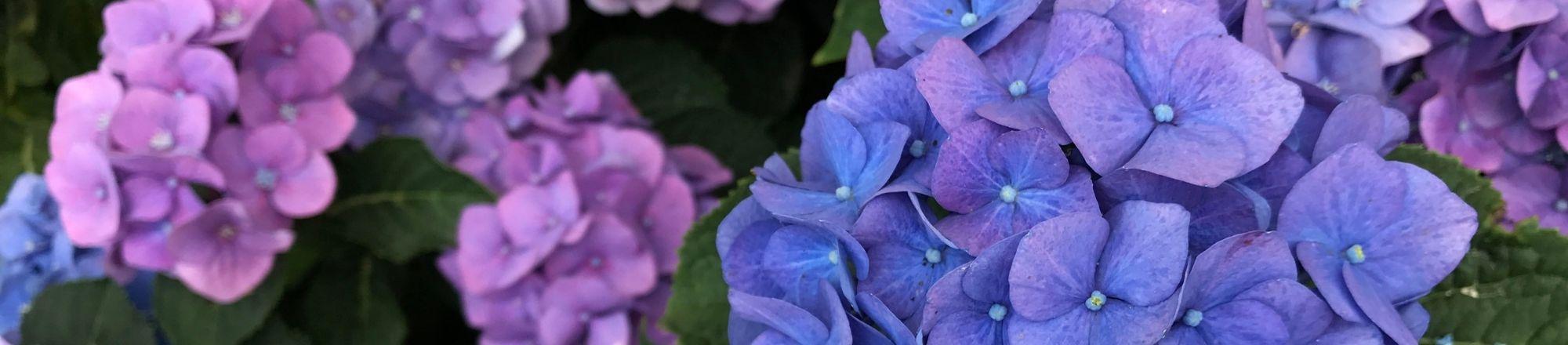 Top 5 mooiste hortensia's