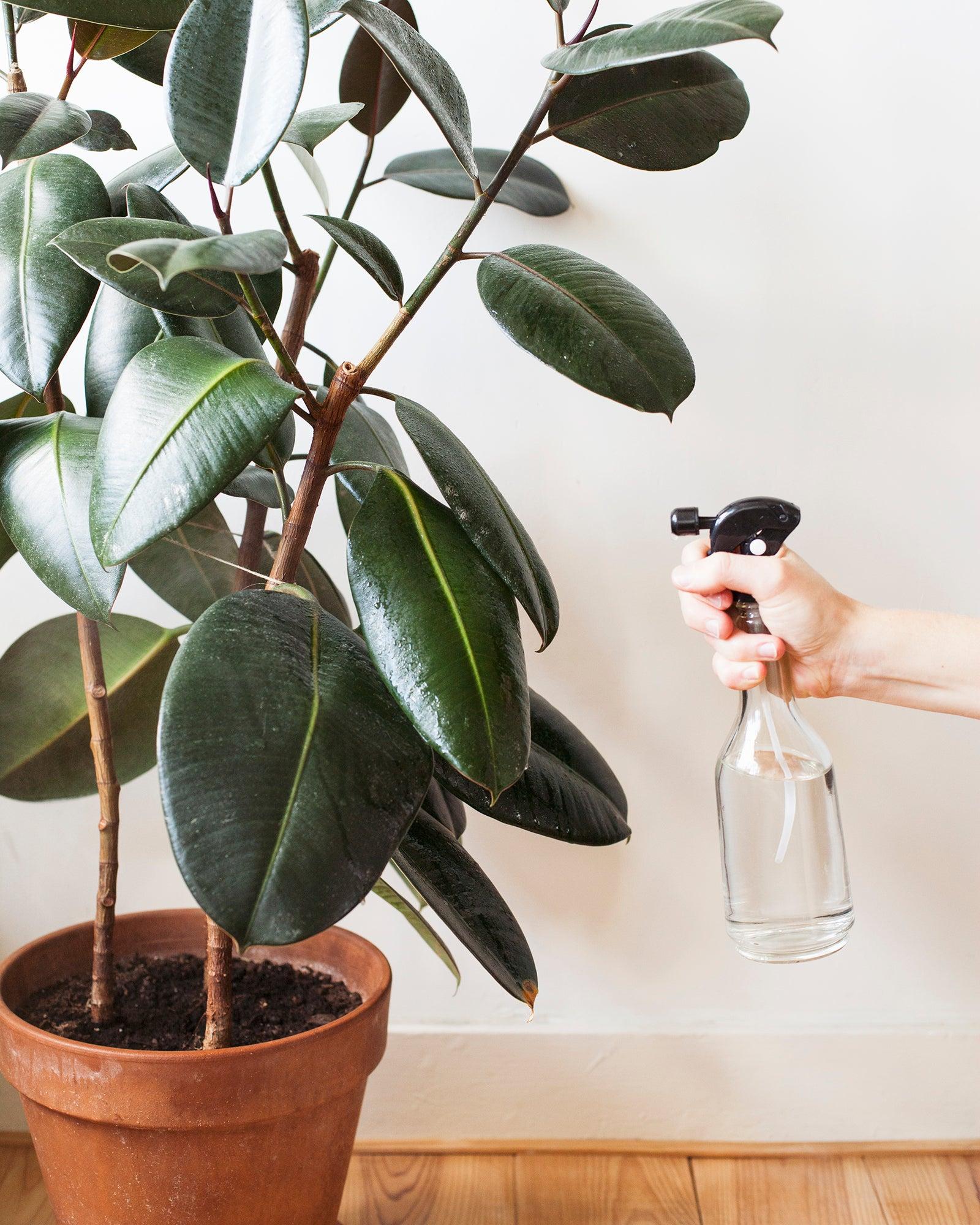 Mama Botanica, kamerplanten, herfst, winter, verzorging, ficus elastica, plantenspuit