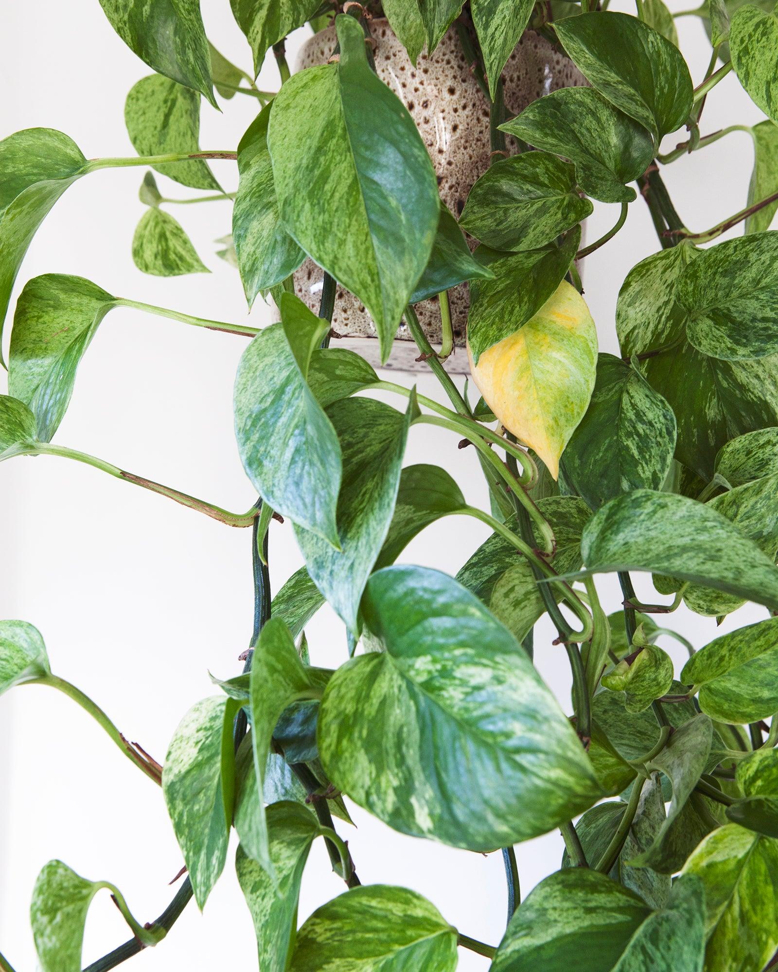 Mama Botanica, kamerplanten, herfst, winter, verzorging, epipremnum