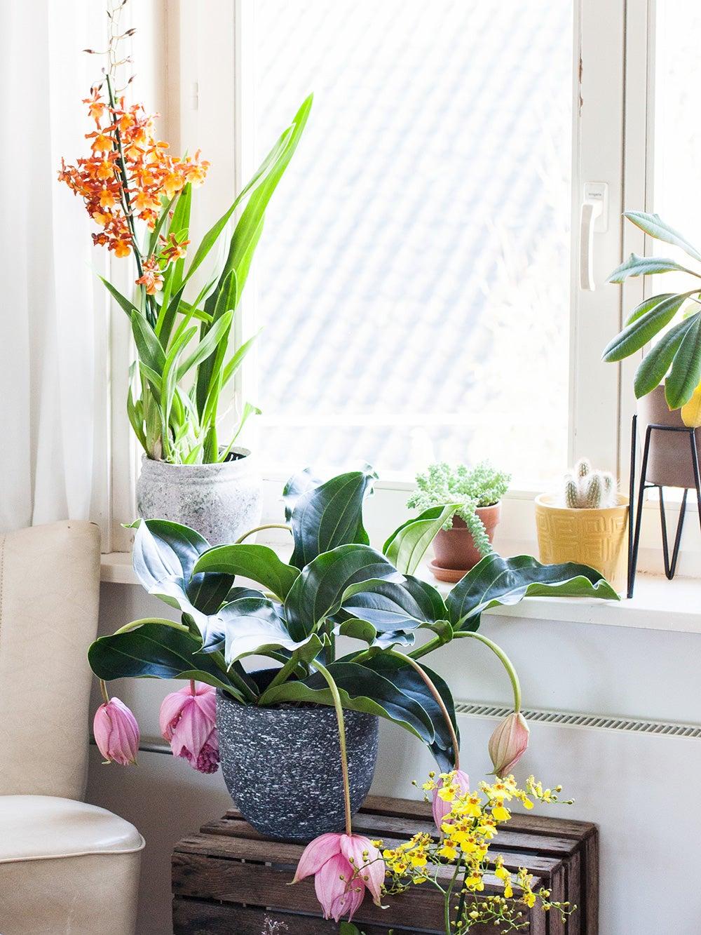Orchidee, medinilla, dendrobium