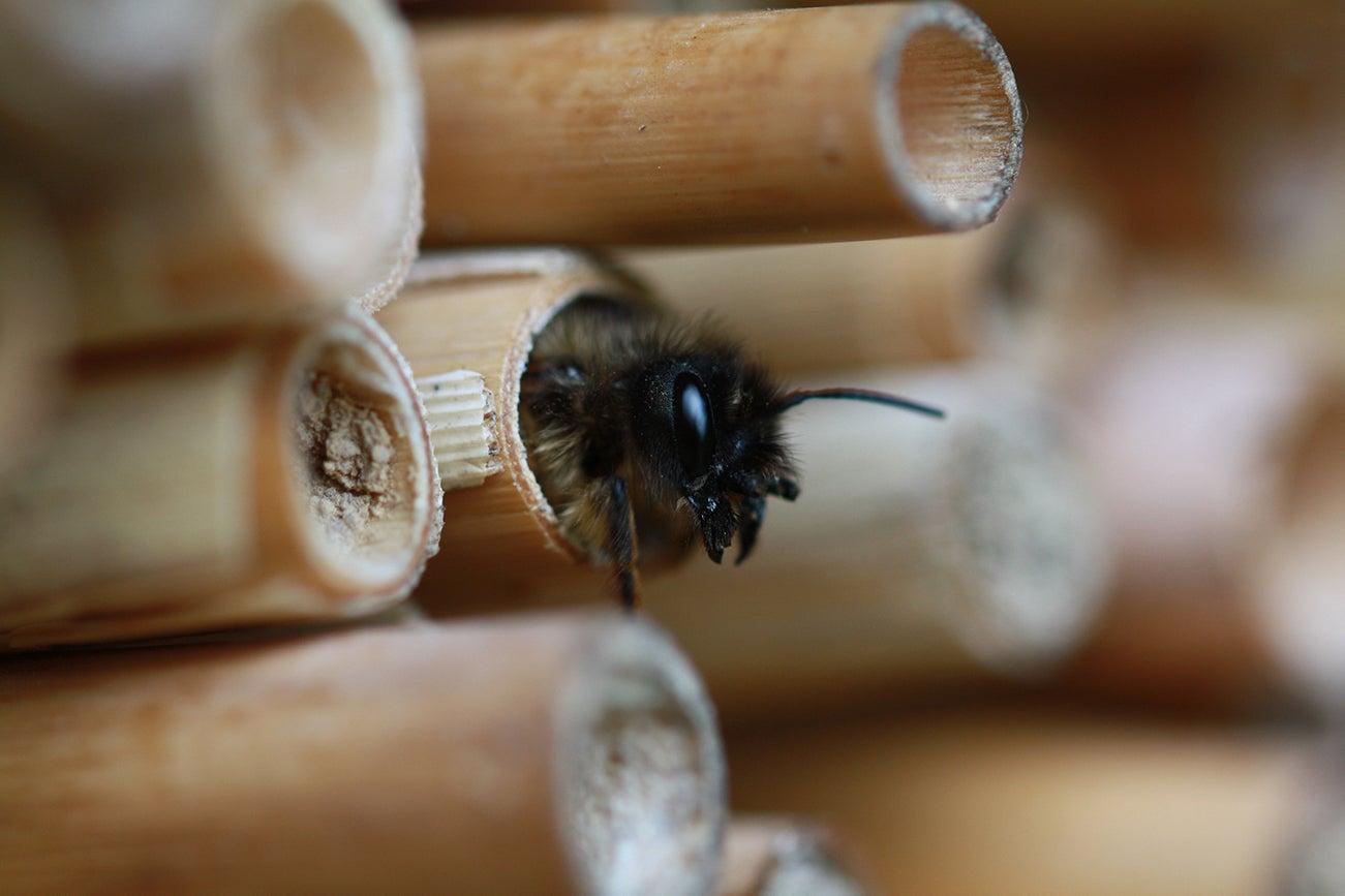 Metselbij, bijenhotel