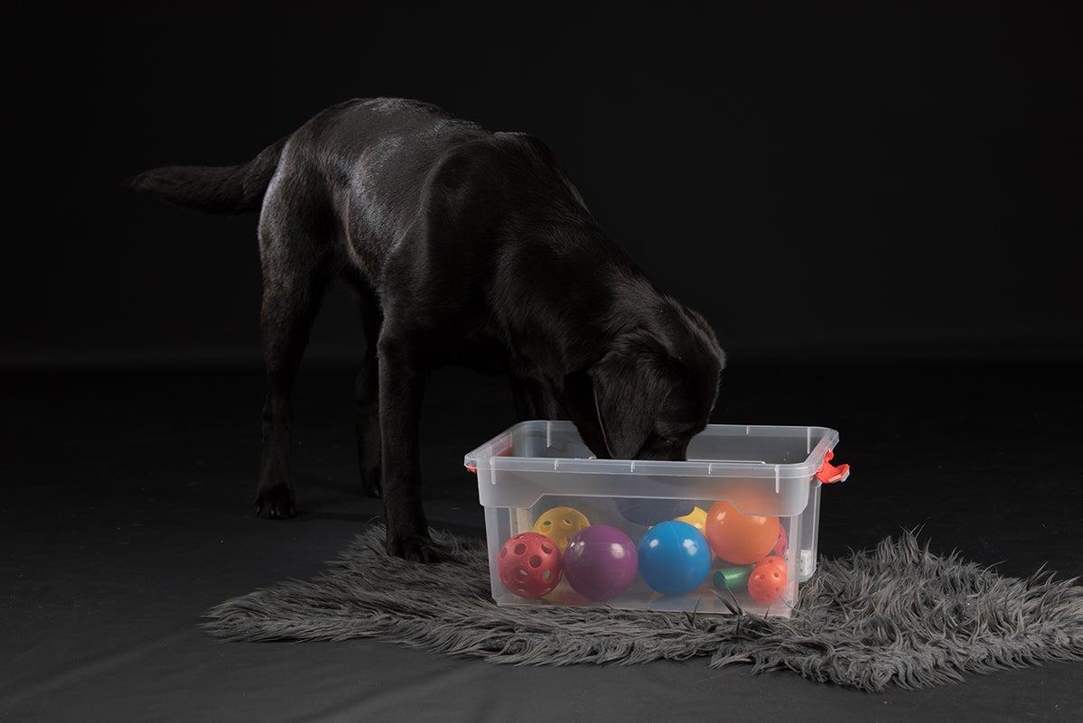 Hond, labrador, bak, snuffelen, spelen