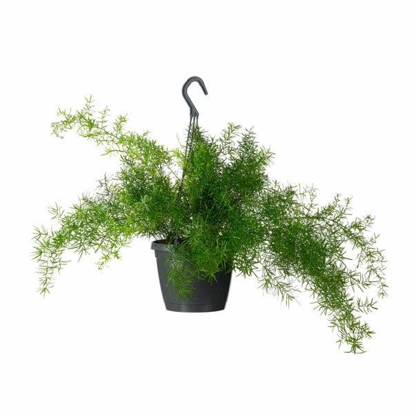Sierasperge (Asparagus)