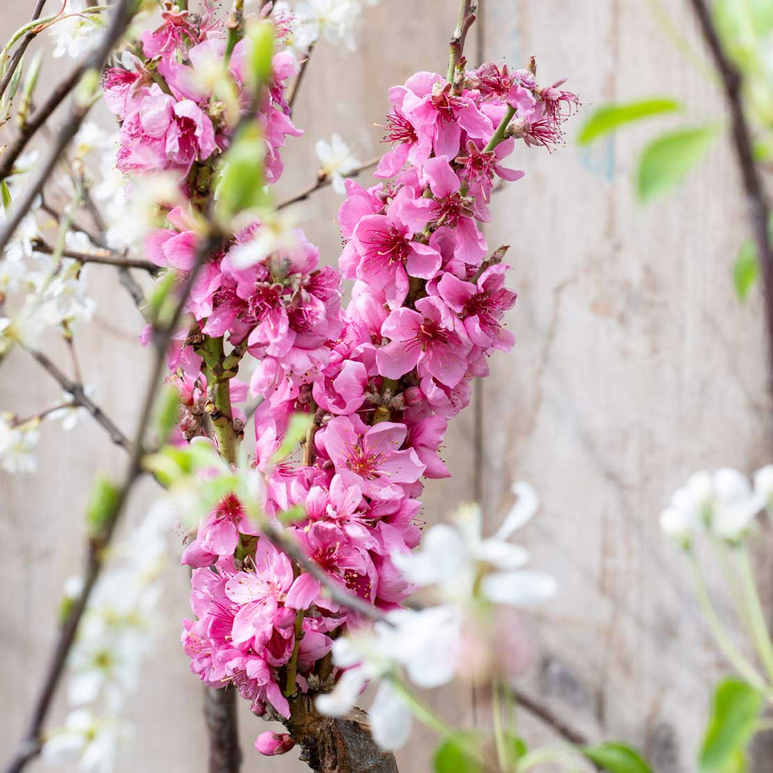 Roze bloesem in de tuin