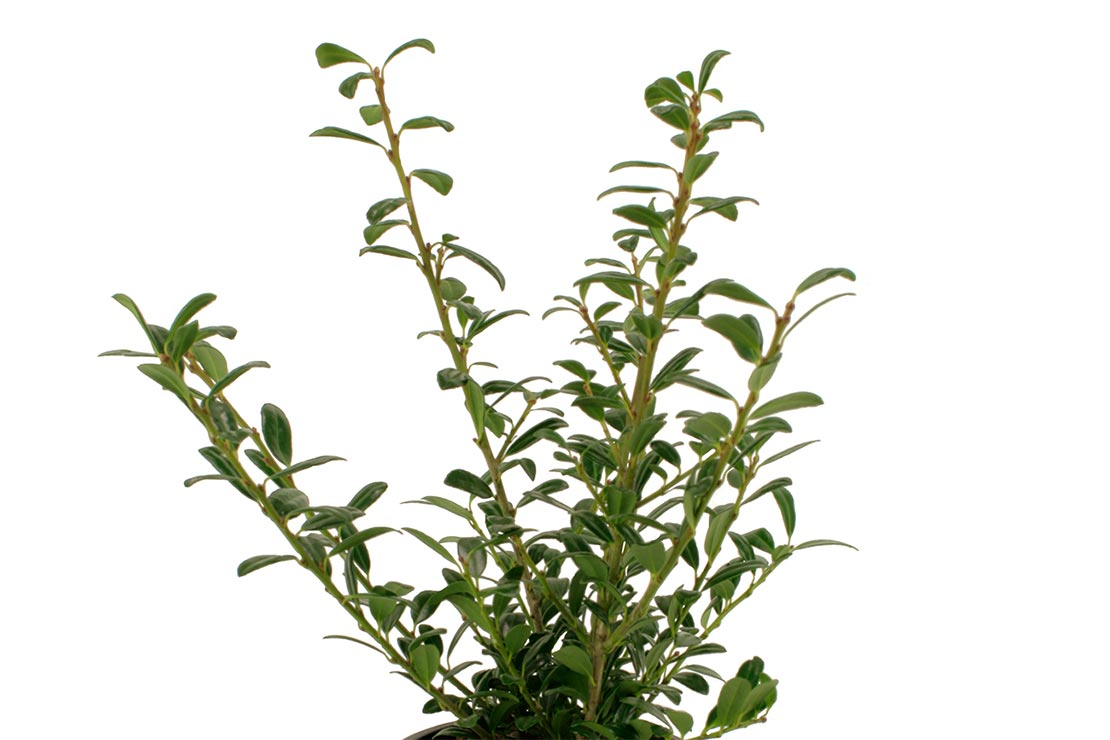 Japanse Hulst – Ilex crenata 'Luxus Hedge'