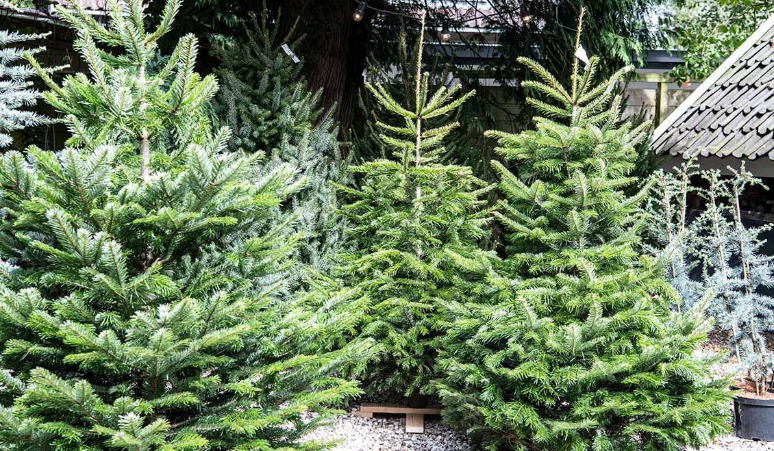 Echte kerstbomen