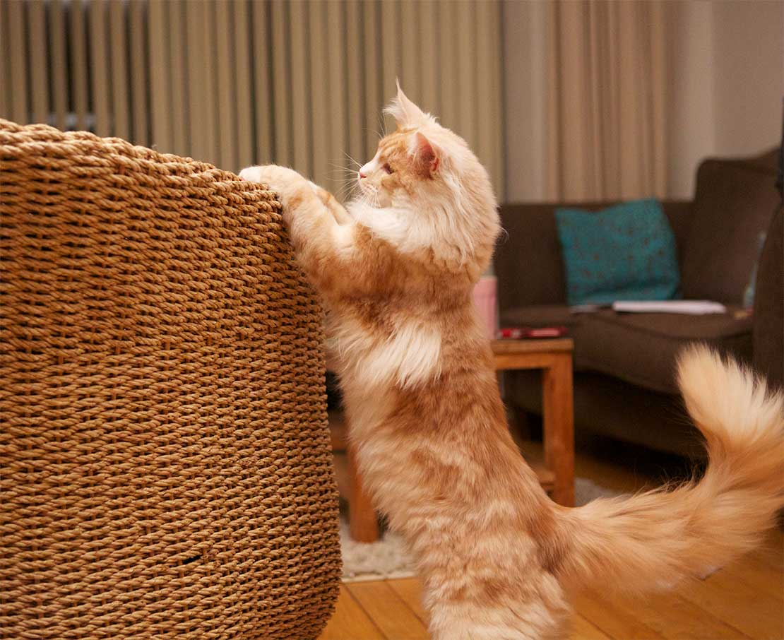 Kat krabt aan stoel