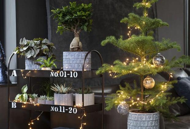 Kamerplant als kerstboom