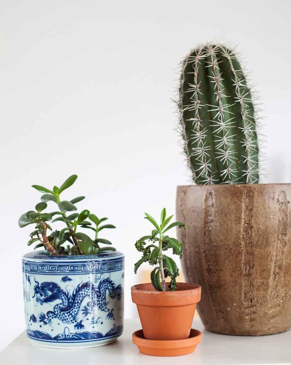 Vetplanten en cactus