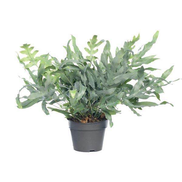 Blauwvaren (Phlebodium aureum 'Blue Star')