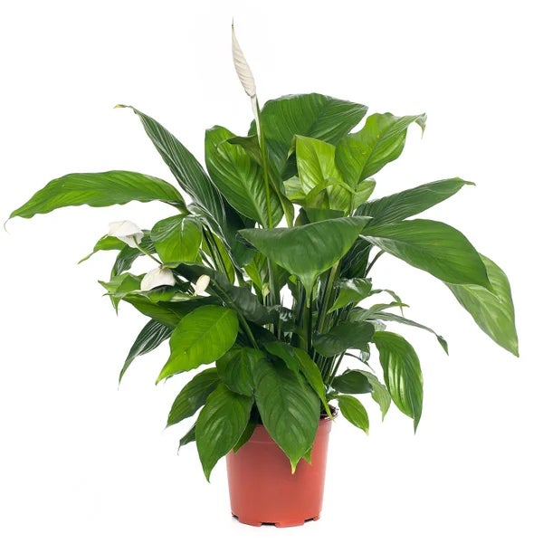 Lepelplant (Spathiphyllum)