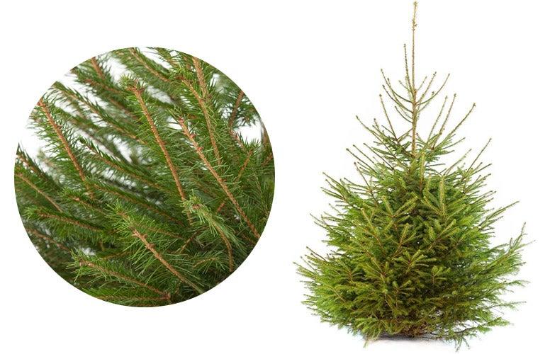 Fijnspar kerstboom