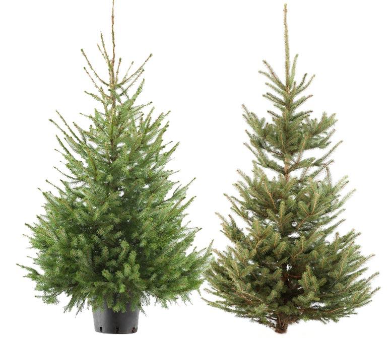 Kerstbomen met en zonder kluit