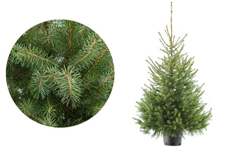 Servische spar kerstboom