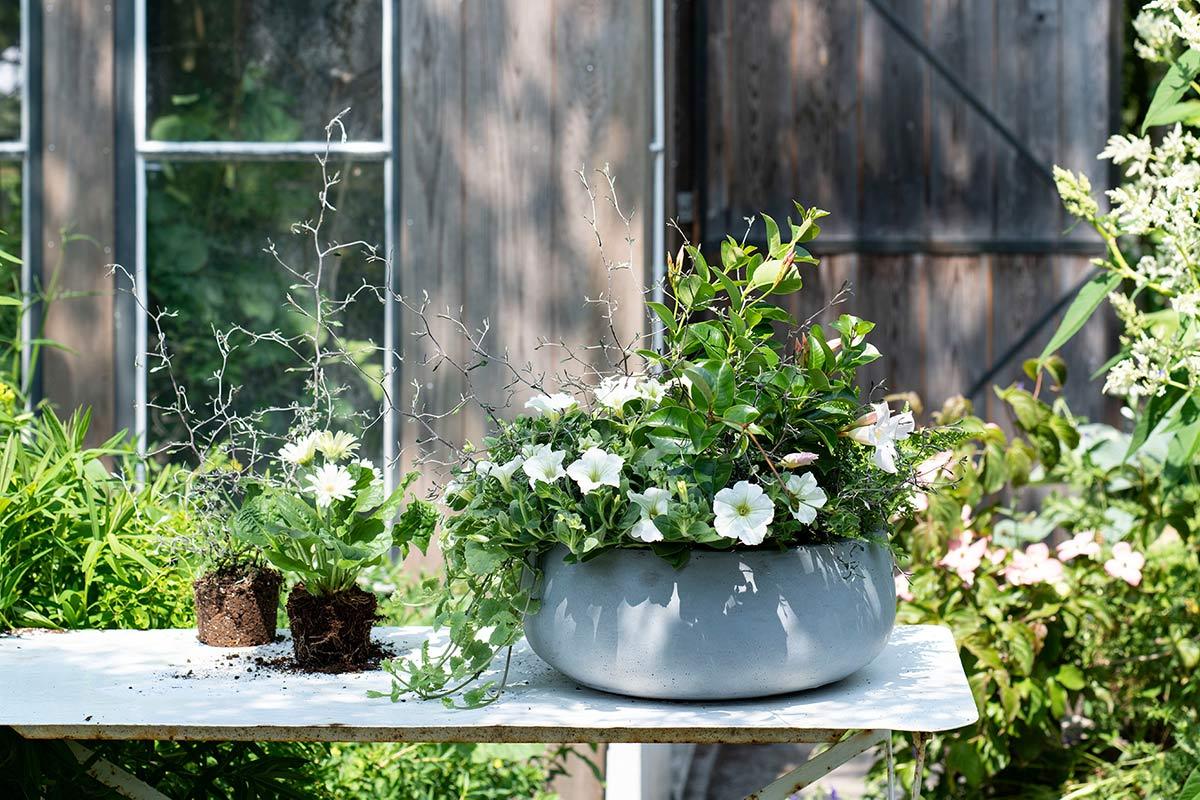 Witte balkonplanten in pot