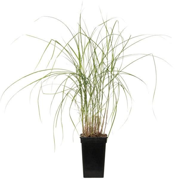 Chinees riet (Miscanthus sinensis 'Gracillimus')