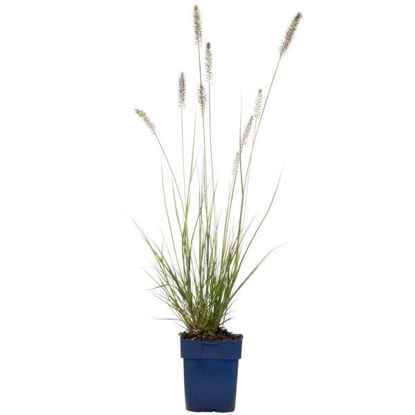 Lampenpoetsersgras (Pennisetum alopecuroides 'Hameln')