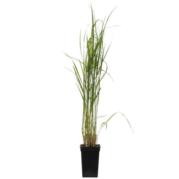 Struisriet (Calamagrostis X acutifolia 'Karl Foerster')