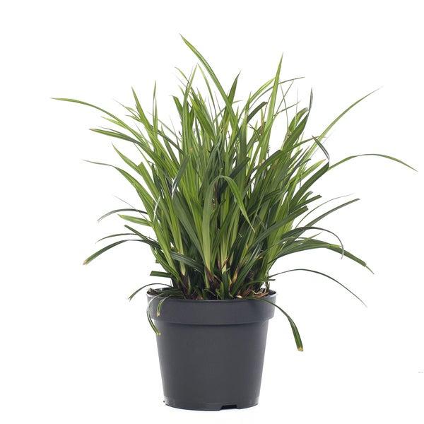 Zegge (Carex)