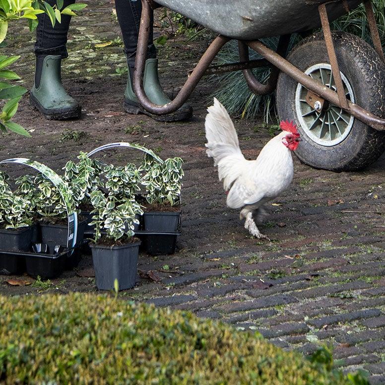 Kip in de tuin