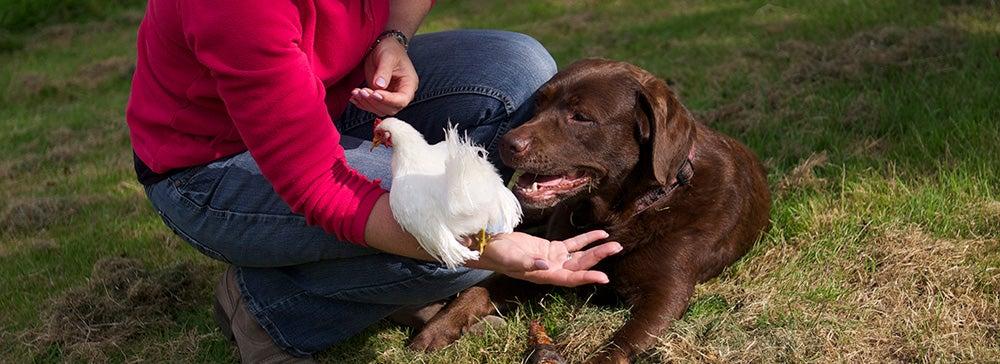 Kippen trainen met hond
