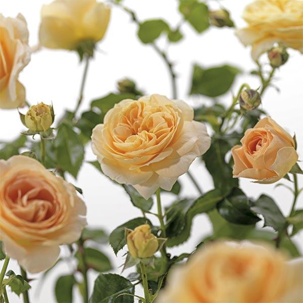 Dubbelbloemige roos (Rosa 'Cream Abundance')