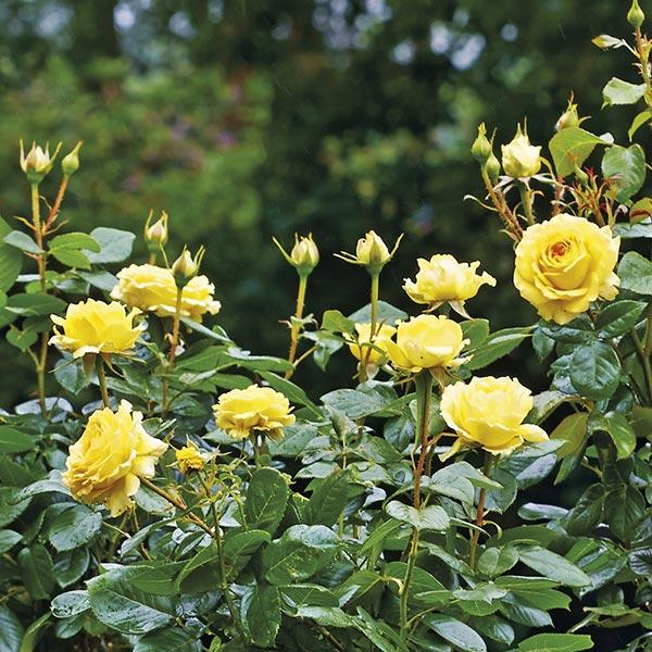 Floribundaroos (Rosa 'Friesia')