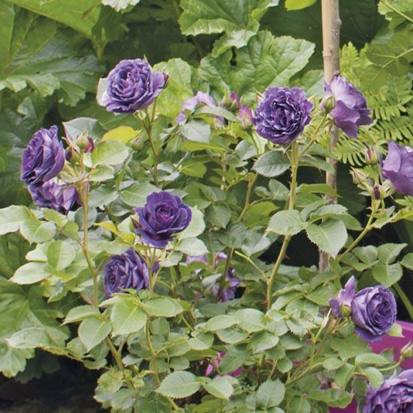 Geurende struikroos (Rosa 'Minerva')