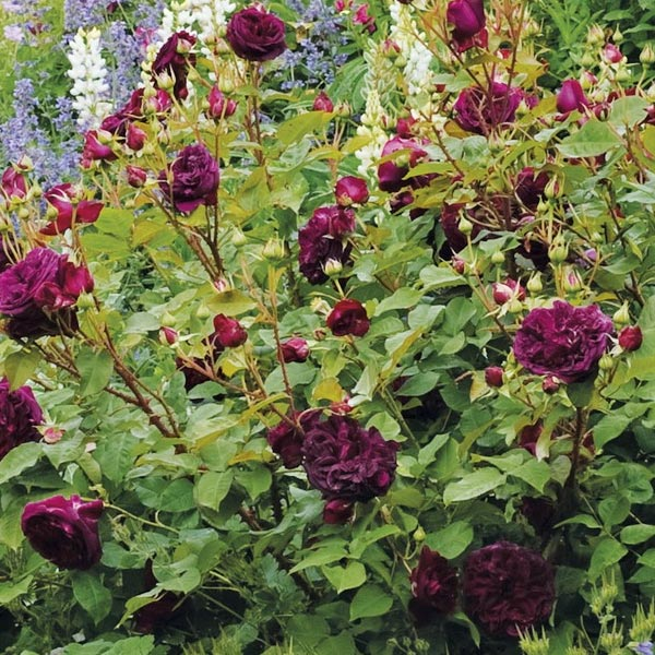 Engelse roos (Rosa 'Munstead Wood')