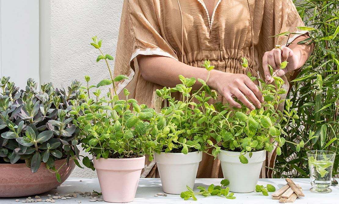 Kruidenplanten oogsten