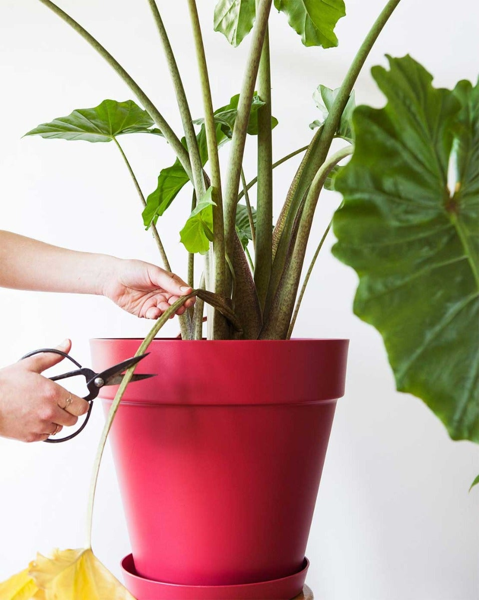 Alocasia blad knippen
