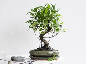 Bonsai kamerplanten