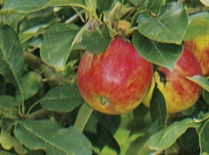 Fruitbomen en -struiken