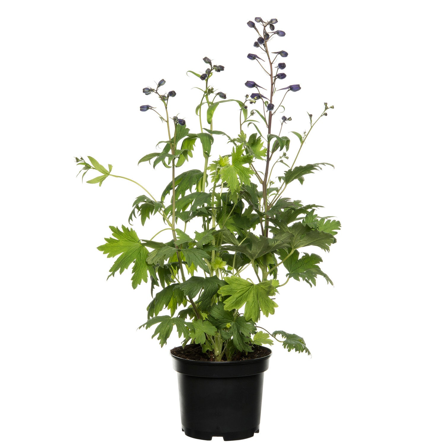 Ridderspoor (Delphinium (P) 'Magic Fountains') D 19 H 40 cm