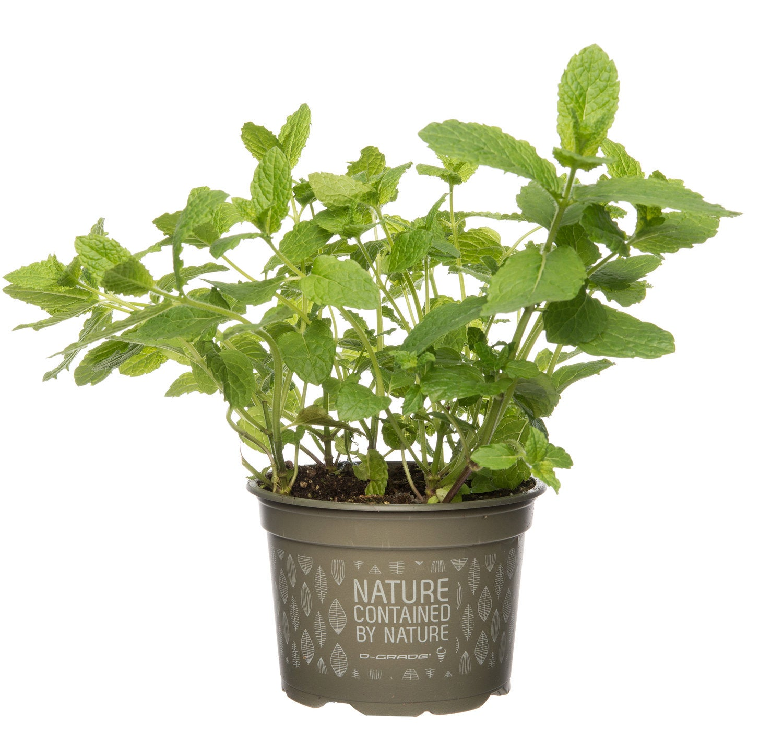Biologische munt (Mentha spicata 'Maroccan') D 12 H 15 cm