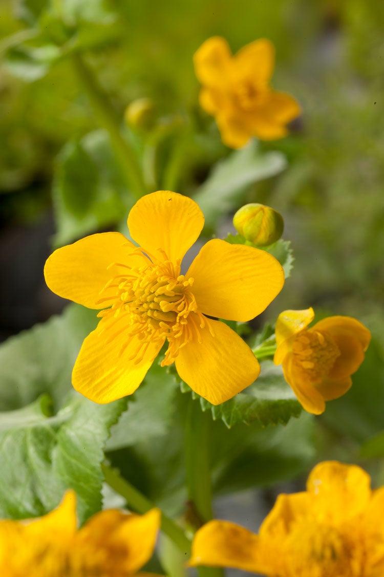 Dotterbloem (Caltha Palustris) D 18 cm