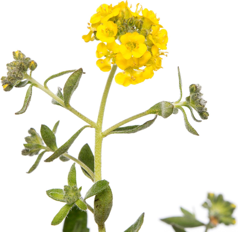 Schildzaad (Alyssum montanum) D 9 H 15 cm