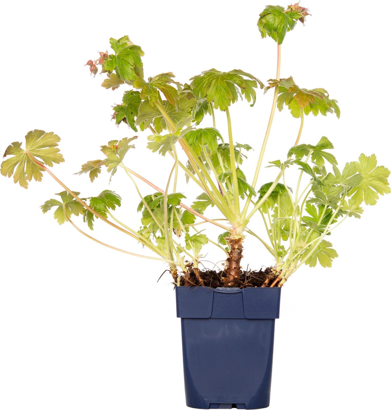 Ooievaarsbek (Geranium macrorrhizum 'Czakor') D 11 cm