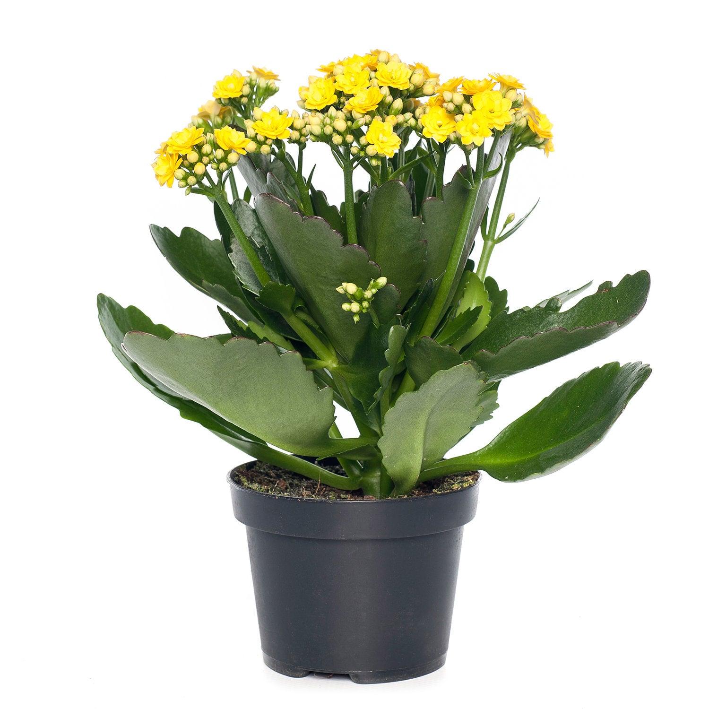 Kalanchoë (Kalanchoë blossfeldiana) D 10,5 H 25 cm